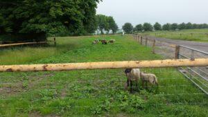 Auffahrt mit Schaf
